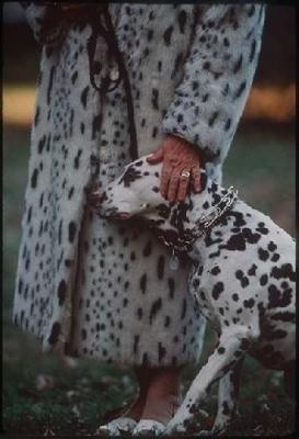 Now I Know What Happened To The Other 100 Dalmatians